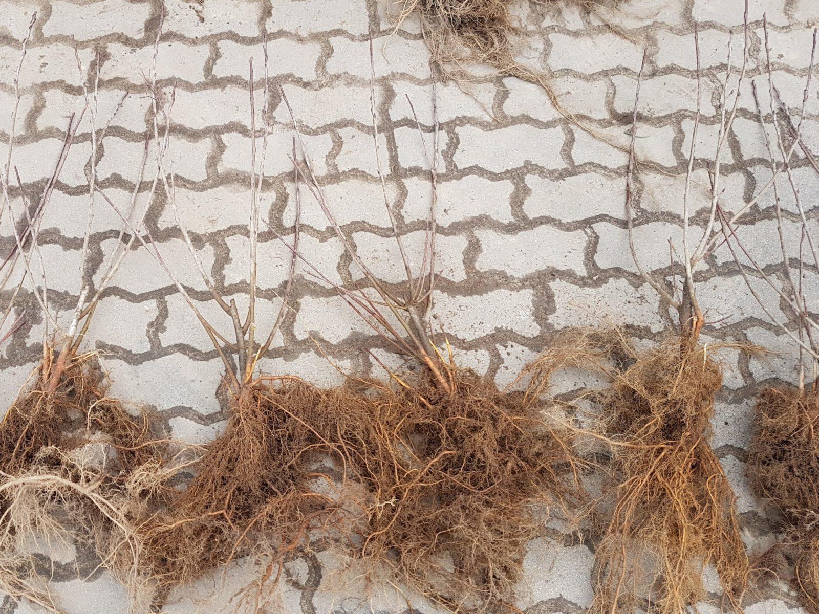 dwuletnie wegetatywne sadzonki aronii