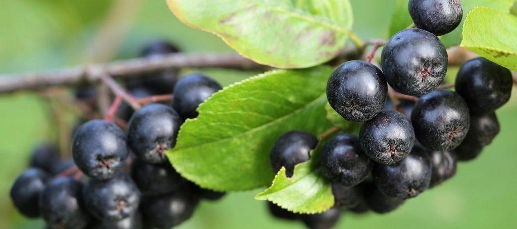 aronia czarnoowocowa owoce