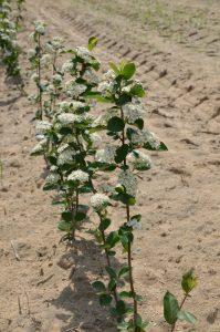 dwuletnie sadzonki aronii z pąkami kwiatowymi