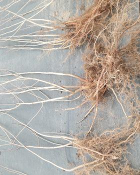 aronia seedlings (plants)