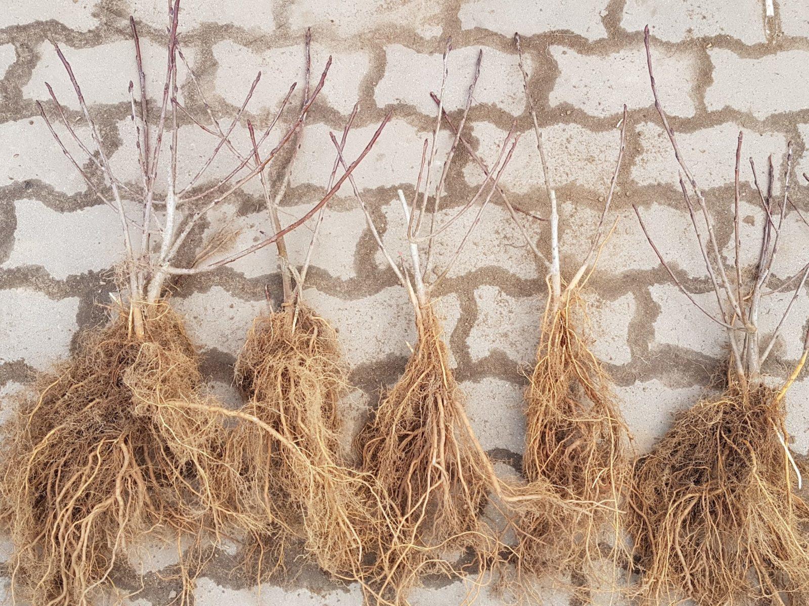 sadzonki aronii 2 letnie wegetatywne