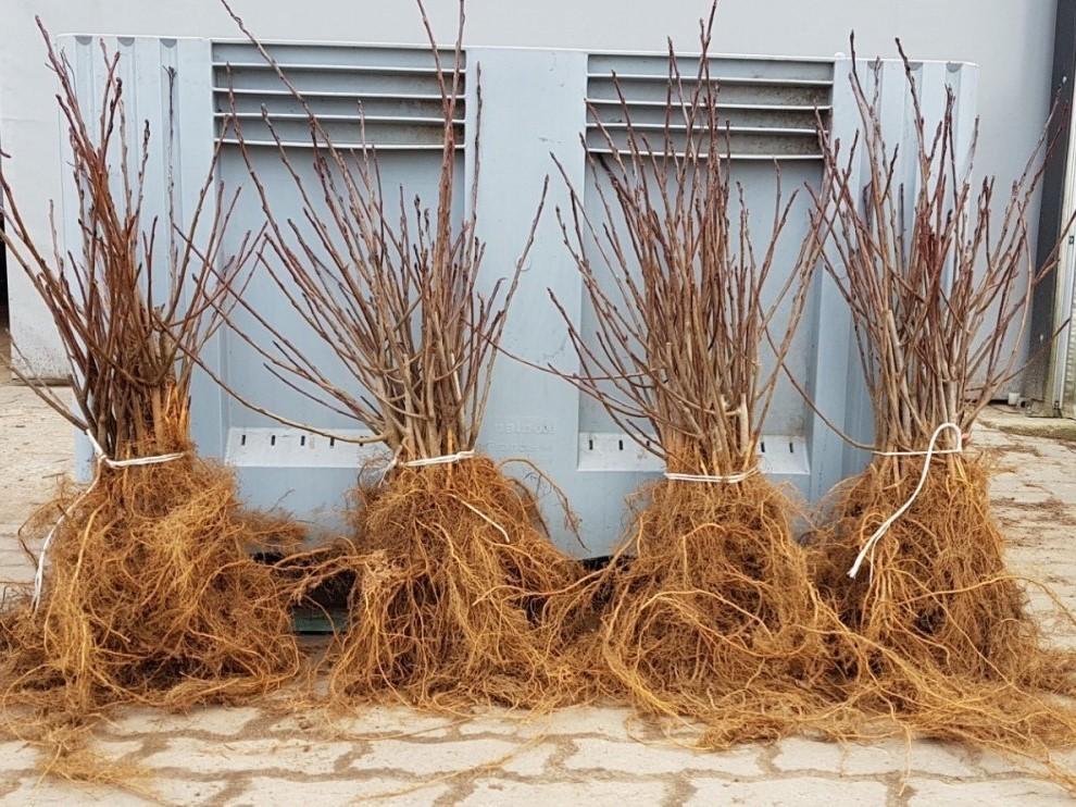 sadzonki aronii wegetatywne dwuletnie